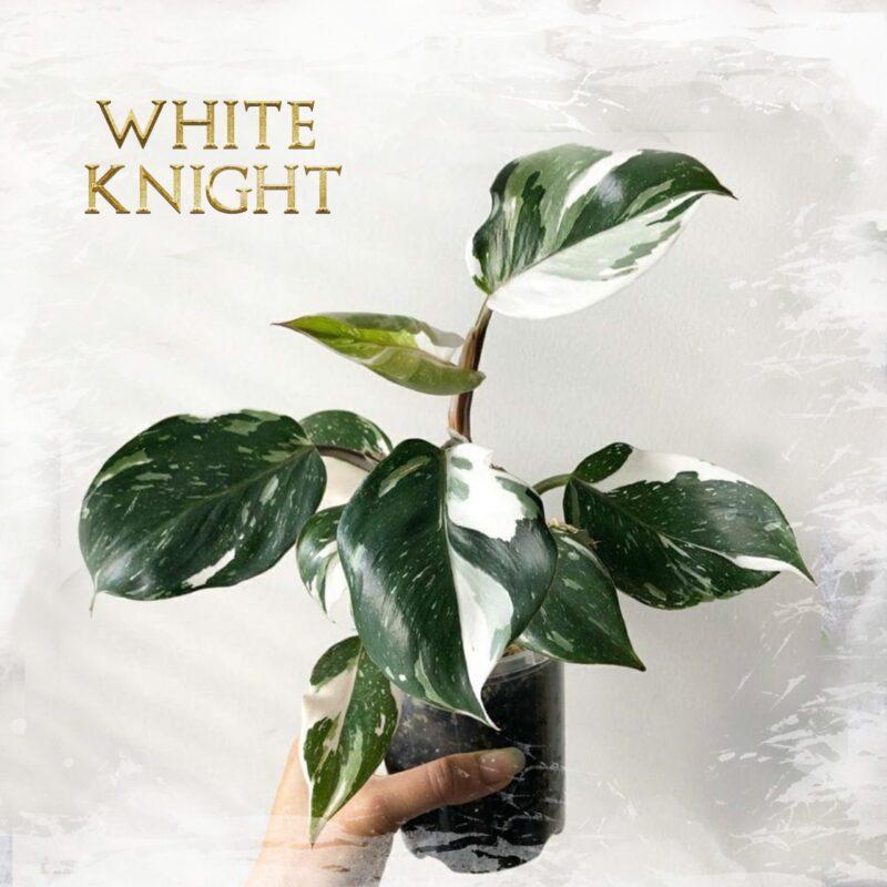 Philo. White Knight
