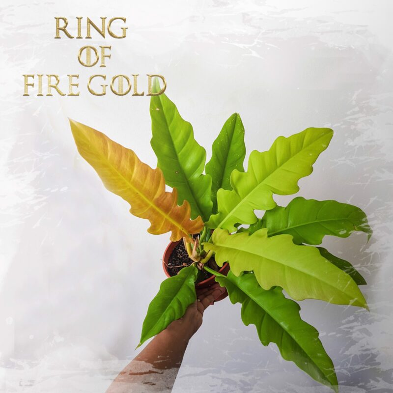 Ring of fire gold