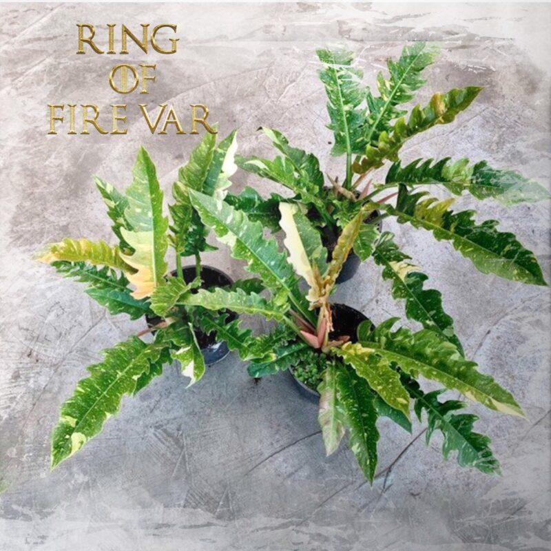 Ring of fire Var