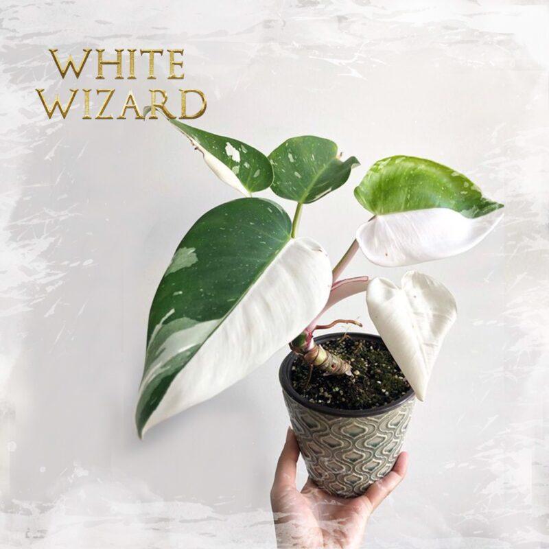 Philo. White Wizard