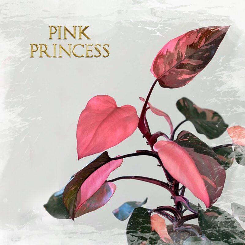 Philo. Pink Princess