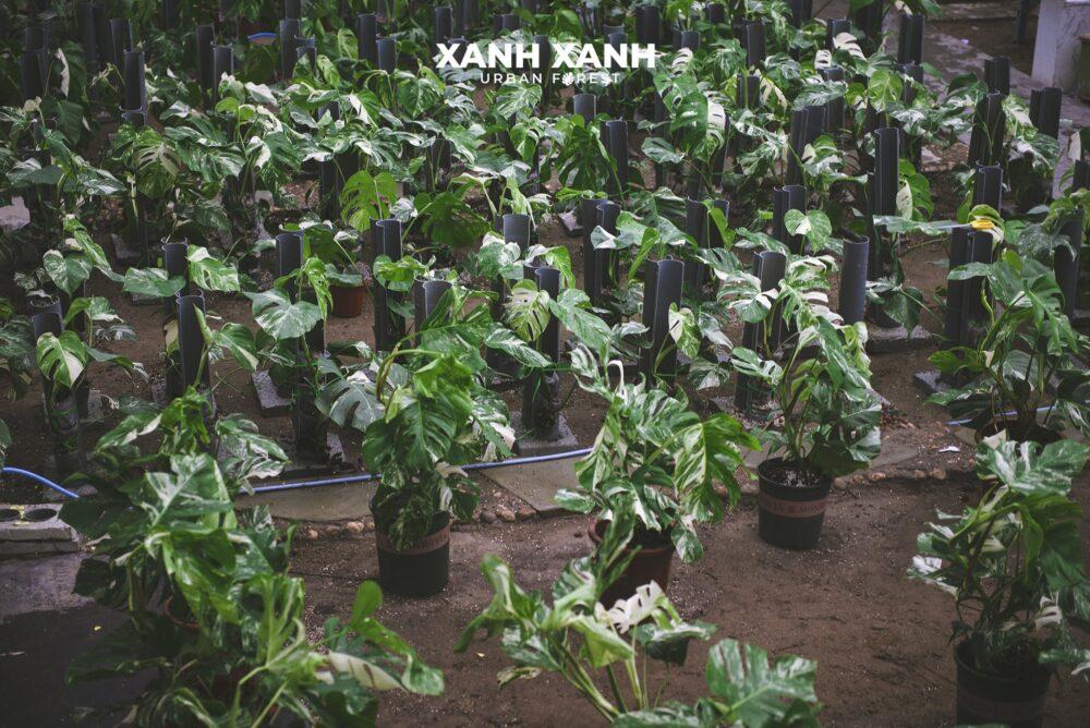 XANH'S DISTRIBUTOR