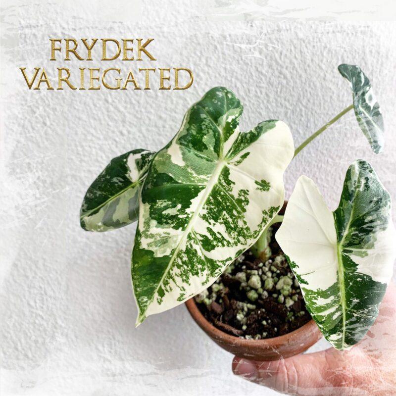 frydex_variegated
