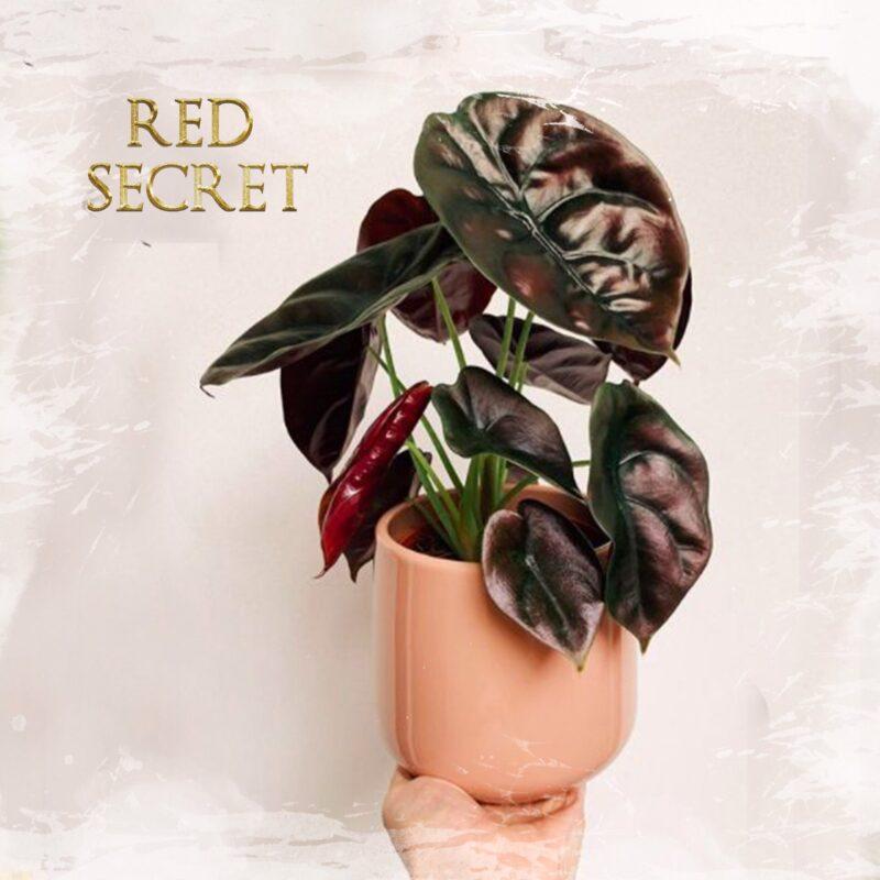 A. Red Secret