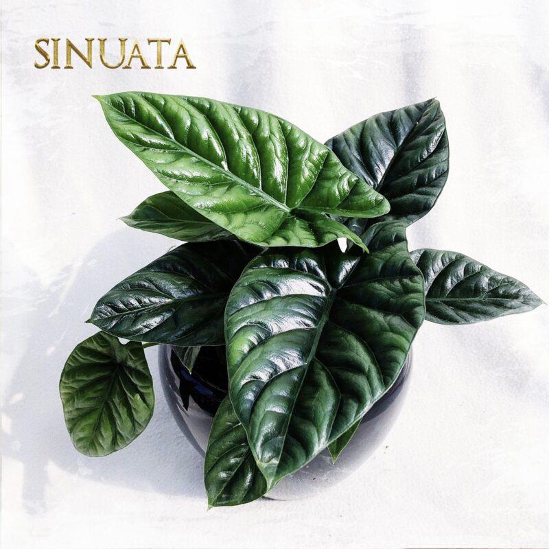 A. Sinuata