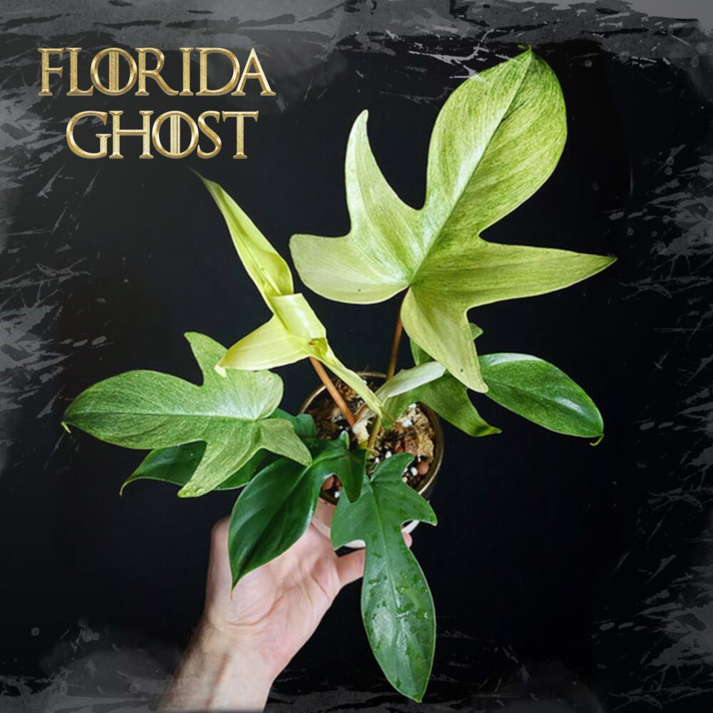 Plant Profile: Philodendron Florida Ghost - Xanh Xanh