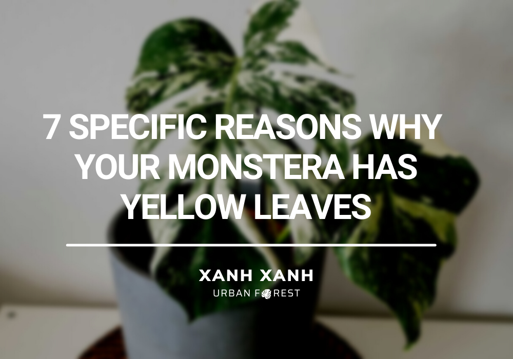 your monstera has yellow leaves